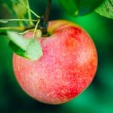 Φρέσκα κόκκινα μήλα στον κλάδο δέντρων της Apple Στοκ φωτογραφία με δικαίωμα ελεύθερης χρήσης