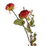 Φρέσκα κόκκινα τριαντάφυλλα σε μια άσπρη ανασκόπηση στοκ φωτογραφίες
