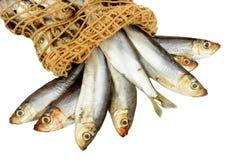 Φρέσκα κλυπέες και δίκτυο ψαριών Στοκ Εικόνες