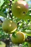 Φρέσκα μήλα σε έναν οπωρώνα αγροτικών μήλων Στοκ φωτογραφία με δικαίωμα ελεύθερης χρήσης