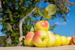 Φρέσκα μήλα στον ξύλινο πίνακα στον κήπο Στοκ εικόνα με δικαίωμα ελεύθερης χρήσης