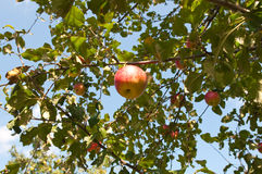 Φρέσκα μήλα στο Apple-δέντρο Στοκ φωτογραφία με δικαίωμα ελεύθερης χρήσης