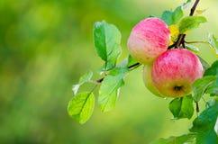 Φρέσκα μήλα Στοκ Φωτογραφίες