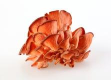Φρέσκα μανιτάρια ostreatus Pleurotus φθινοπώρου Στοκ Εικόνα