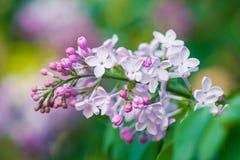 Φρέσκα μαλακά ρόδινα και άσπρα ιώδη λουλούδια χρώματος Στοκ φωτογραφία με δικαίωμα ελεύθερης χρήσης