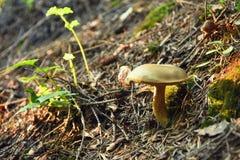 Φρέσκα μικρά μανιτάρια σε ένα βαθύ δάσος στοκ εικόνα με δικαίωμα ελεύθερης χρήσης