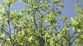Φρέσκα νέα πράσινα δρύινα φύλλα στο φωτεινό φως ήλιων, prores μήκος σε πόδηα απόθεμα βίντεο