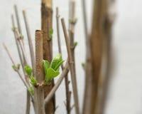 Φρέσκα νέα φύλλα στους κλάδους δέντρων - εκλεκτικός που στρέφεται Στοκ εικόνα με δικαίωμα ελεύθερης χρήσης
