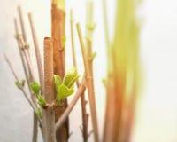 Φρέσκα νέα φύλλα στους κλάδους δέντρων Στοκ Φωτογραφίες