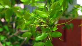 Φρέσκα νέα φύλλα άνοιξη που πετιούνται στην κινηματογράφηση σε πρώτο πλάνο αέρα απόθεμα βίντεο