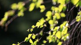 Φρέσκα νέα φύλλα σημύδων απόθεμα βίντεο