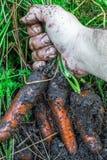 Φρέσκα οργανικά καρότα δεξιά από το έδαφος Οργανική κηπουρική σε λεπτότερό του Στοκ Εικόνες