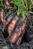 Φρέσκα οργανικά καρότα δεξιά από το έδαφος Πλύσιμο από το ρύπο Οργανική κηπουρική σε λεπτότερό του Στοκ Φωτογραφία