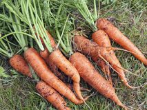 Φρέσκα οργανικά καρότα Στοκ Φωτογραφία