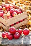 Φρέσκα οργανικά κόκκινα μήλα από τη συγκομιδή φθινοπώρου στο τοπικό αγρόκτημα Στοκ Εικόνες