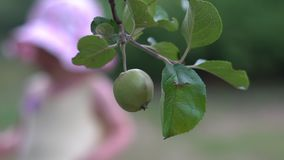 Φρέσκα οργανικά μήλα που κρεμούν στον κλάδο του δέντρου μηλιάς σε έναν κήπο απόθεμα βίντεο