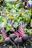 Φρέσκα οργανικά παντζάρια δεξιά από το έδαφος Οργανική κηπουρική σε λεπτότερό του Στοκ Εικόνα