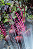 Φρέσκα οργανικά παντζάρια δεξιά από το έδαφος Πλύσιμο του ρύπου από το τεύτλο Οργανική κηπουρική σε λεπτότερό του Στοκ εικόνα με δικαίωμα ελεύθερης χρήσης