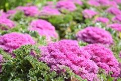 Φρέσκα οργανικά πράσινα λάχανων, κήπος λάχανων Στοκ Εικόνες