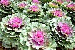 Φρέσκα οργανικά πράσινα λάχανων, κήπος κόκκινων λάχανων Στοκ Εικόνες