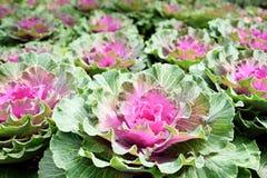 Φρέσκα οργανικά πράσινα λάχανων, κήπος κόκκινων λάχανων Στοκ Φωτογραφίες