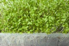 Φρέσκα οργανικά πράσινα μικροϋπολογιστών για τη σαλάτα σε ένα εμπορευματοκιβώτιο καταστημάτων στοκ φωτογραφία με δικαίωμα ελεύθερης χρήσης