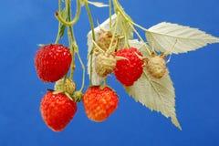 Φρέσκα οργανικά φράουλα και σμέουρο Στοκ φωτογραφία με δικαίωμα ελεύθερης χρήσης