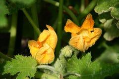 Φρέσκα λουλούδια κολοκυθιών Στοκ φωτογραφία με δικαίωμα ελεύθερης χρήσης