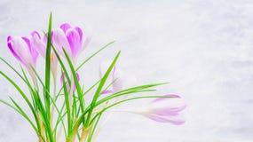 Φρέσκα λουλούδια κρόκων στο ελαφρύ υπόβαθρο, πλάγια όψη Στοκ Εικόνες