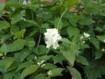 φρέσκα λουλούδια jasmine της ανάπτυξης στο θερινό κήπο Στοκ εικόνες με δικαίωμα ελεύθερης χρήσης