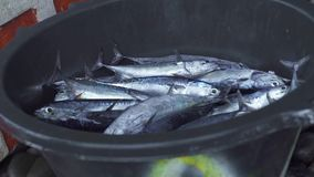 Φρέσκα πιάνοντας ψάρια σκουμπριών στο αλιευτικό σκάφος Κλείστε επάνω τη φρέσκια σύλληψη στη βάρκα αλιεύοντας στο θαλάσσιο νερό απόθεμα βίντεο