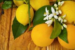 Φρέσκα πορτοκάλια και λεμόνια με τα φύλλα και τα πορτοκαλιά λουλούδια δέντρων επάνω Στοκ Εικόνα