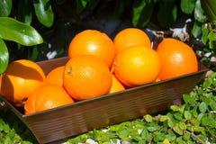 φρέσκα πορτοκάλια Στοκ Εικόνες