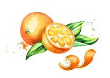 Φρέσκα πορτοκαλιά φρούτα και σύνθεση φύλλων Συρμένη χέρι απεικόνιση Watercolor, που απομονώνεται στο άσπρο υπόβαθρο ελεύθερη απεικόνιση δικαιώματος