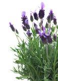 Φρέσκα πορφυρά lavender λουλούδια στο λευκό Στοκ Φωτογραφία