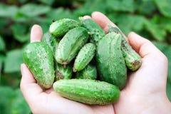 Φρέσκα πράσινα αγγούρια στα χέρια. Στοκ Φωτογραφίες