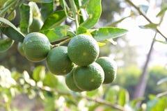 Φρέσκα πράσινα λεμόνια Στοκ Φωτογραφίες