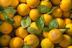 φρέσκα πράσινα λεμόνια φύλλ στοκ φωτογραφία με δικαίωμα ελεύθερης χρήσης