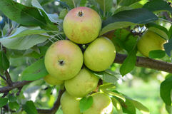 Φρέσκα πράσινα μήλα σε έναν οπωρώνα αγροτικών μήλων Στοκ εικόνες με δικαίωμα ελεύθερης χρήσης