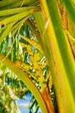 Φρέσκα πράσινα νέα φρούτα καρύδων, στο δέντρο καρύδων ανθίζοντας δέντρο καρύδων Στοκ Εικόνες