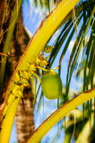 Φρέσκα πράσινα νέα φρούτα καρύδων, στο δέντρο καρύδων Στοκ φωτογραφία με δικαίωμα ελεύθερης χρήσης
