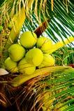 Φρέσκα πράσινα νέα φρούτα καρύδων, στο δέντρο καρύδων Στοκ Εικόνες