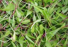 Φρέσκα πράσινα σαλάτας περικοπών στοκ φωτογραφίες