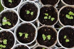 Φρέσκα πράσινα σπορόφυτα στοκ φωτογραφίες με δικαίωμα ελεύθερης χρήσης