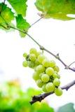 Φρέσκα πράσινα σταφύλια στους κλάδους Στοκ Εικόνες