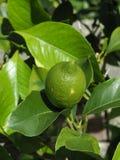 Φρέσκα πράσινα φρούτα λεμονιών στοκ φωτογραφία