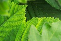 φρέσκα πράσινα φύλλα ανασκόπησης Στοκ Εικόνες