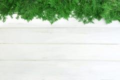 Φρέσκα πράσινα φύλλα πεύκων, ασιατικό Arborvitae, orientalis Thuja γνωστά επίσης ως διακόσμηση orientalis Platycladus άσπρο σε ξύ Στοκ Φωτογραφία