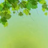Φρέσκα πράσινα φύλλα στη φυσική ανασκόπηση. Στοκ Φωτογραφία