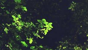Φρέσκα πράσινα φύλλα στον κλάδο δέντρων που κυματίζει στο αεράκι απόθεμα βίντεο
